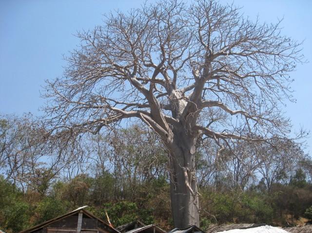 140826 baobabu tree